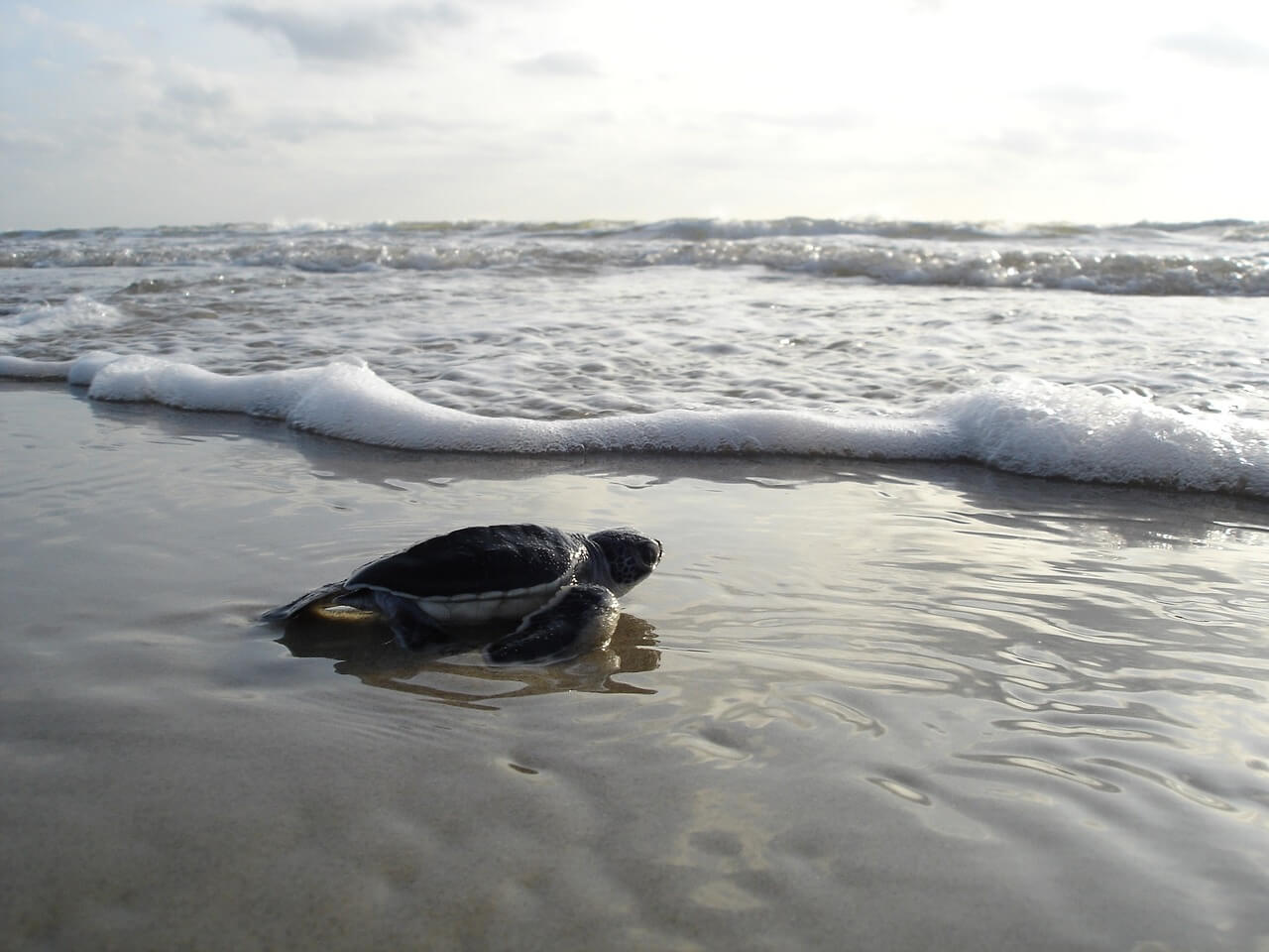 Riviera Nayarit Turtle Season