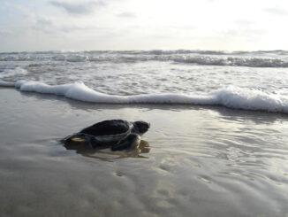 Riviera Nayarit Turtle Season